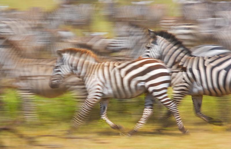 Zebras en Movimiento