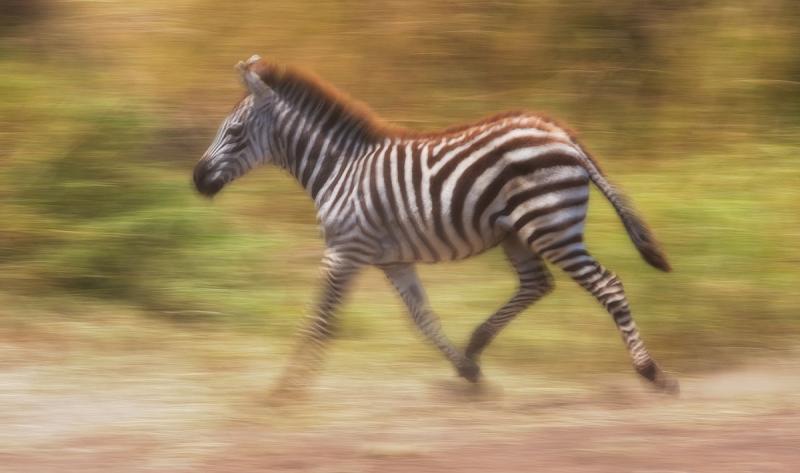 Young-Zebra