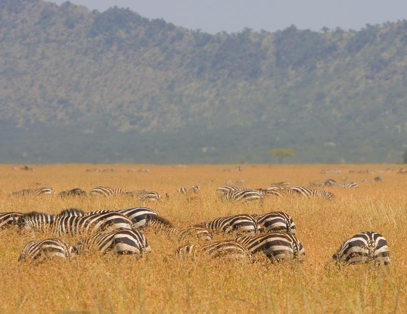 Gracing Zebras, Seronera region