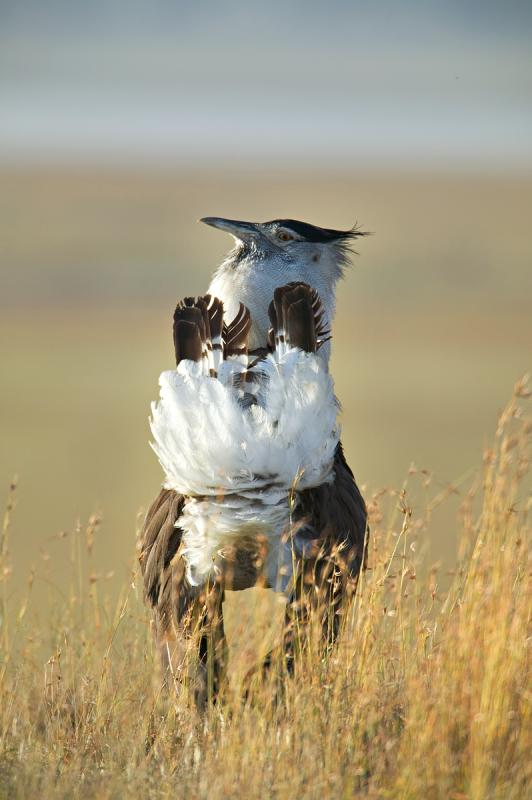 Kori Bustard Adult Male in Courtship Display