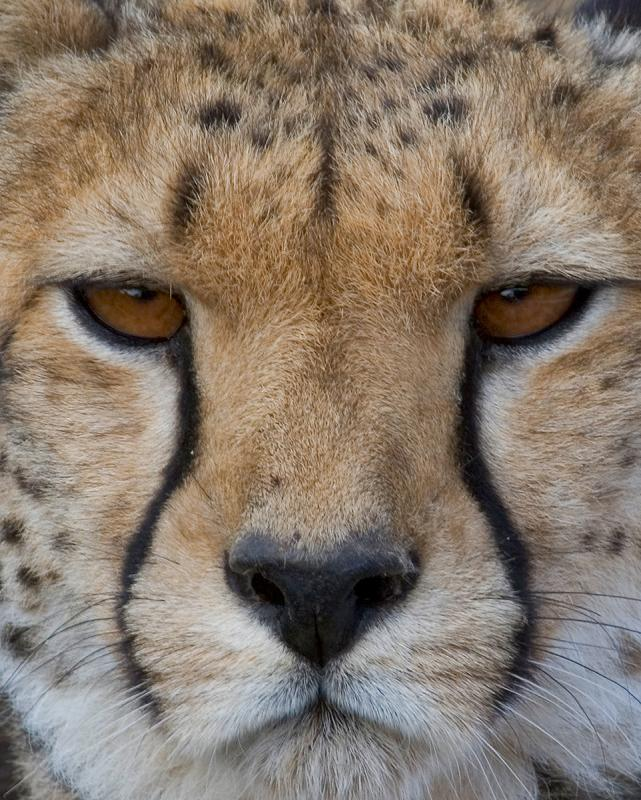 Cheetas Portrait.jpg