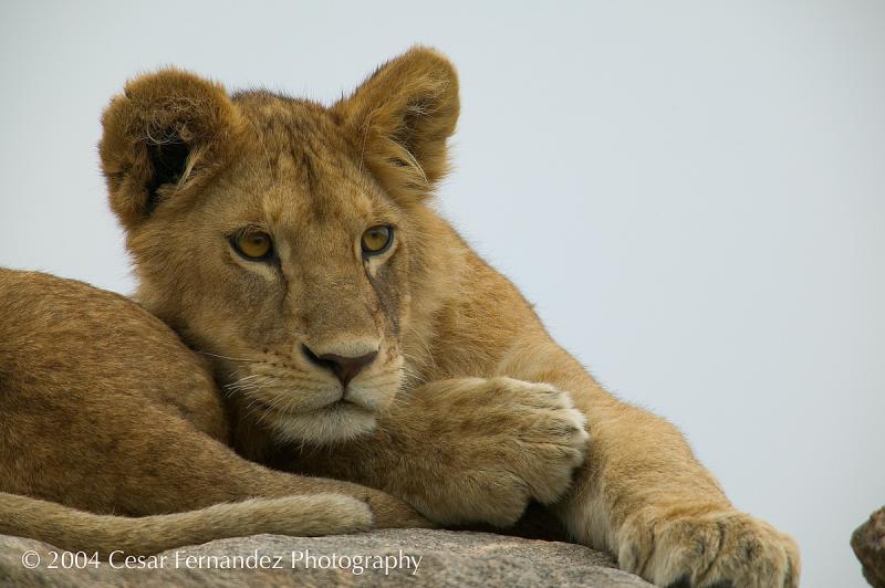 Lions Cub