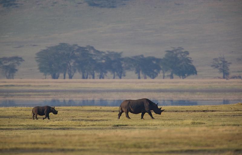 Black Rhino with Calf - (Rinoceronte Negro y su cría)
