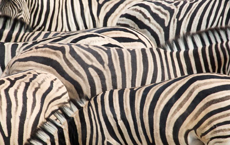 Burchell Zebras Stripes Pattern