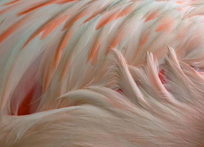 Lesser Flamingo - Detail