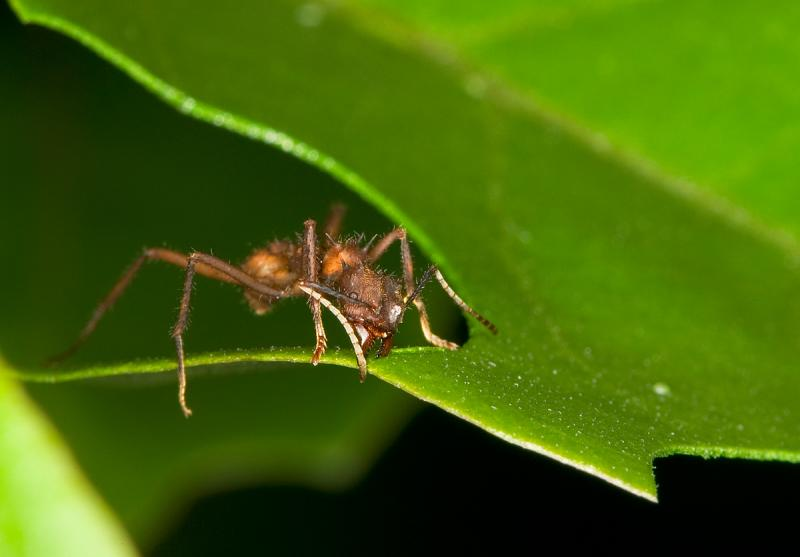 Leaf-Cutter-ant-6.jpg