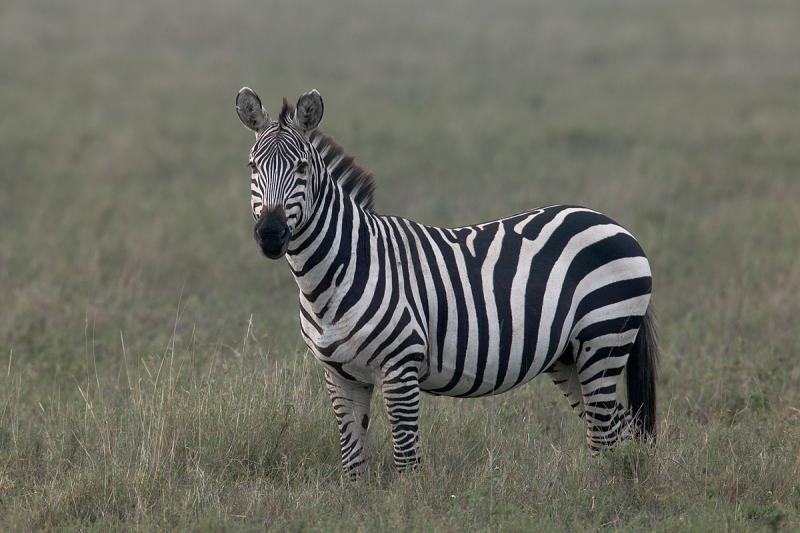 Zebra-Stallion.jpg