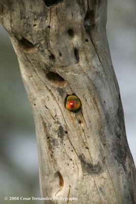 Love Bird in Nest.jpg