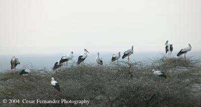 White Storks on Treetop.jpg