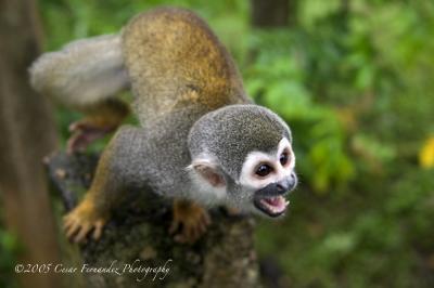 Amazon Squirel Monkey.jpg