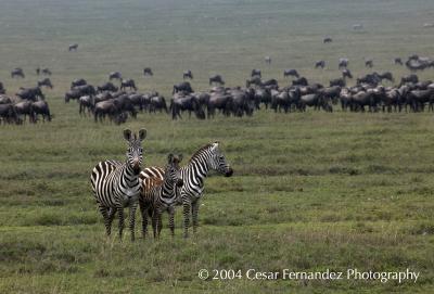 Zebra Family copy.jpg