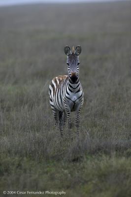 Zebra FrontView-MF copy.jpg