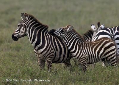 Zebra momyoung copy.jpg