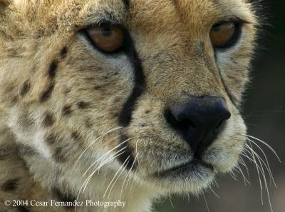 Cheeta Closeup copy.jpg