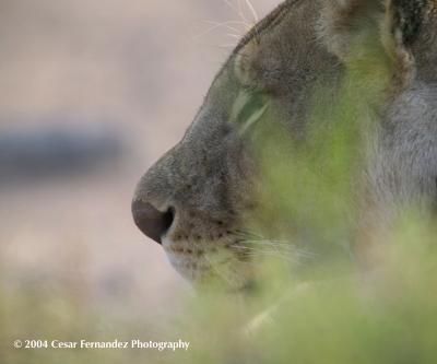 Lion-female stalking prey.jpg