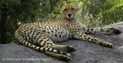 Cheeta Resting.jpg