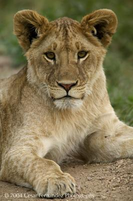 Lion's cub.jpg