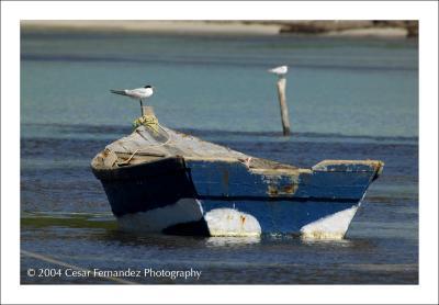 Caspian Tern y Yola copy