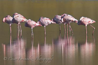 Horizontal-Flamingos.jpg