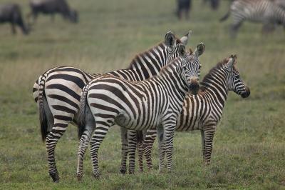 Zebra-Family2-MF.jpg