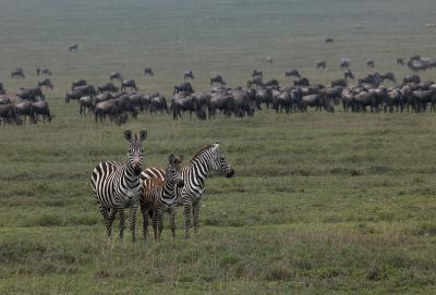 Zebra-Family-MF.jpg