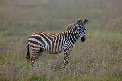 Young-Zebra-Stallion.jpg