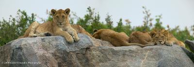 Lioncubs-resting.jpg