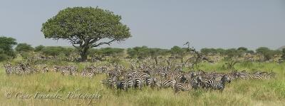 Zebra Congregation - Seronera Region, Serengeti