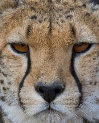 Cheetas Portrait.jpg