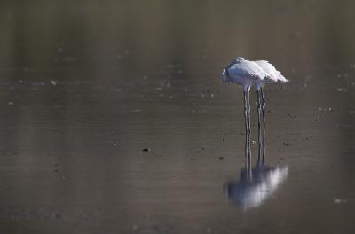 Lesser Flamingos - Immature