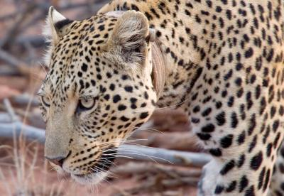 Female Leopard with tracking collard