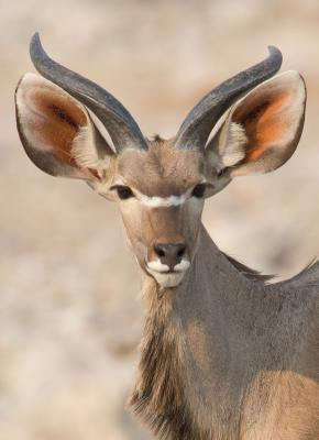 Kudu - Young Male