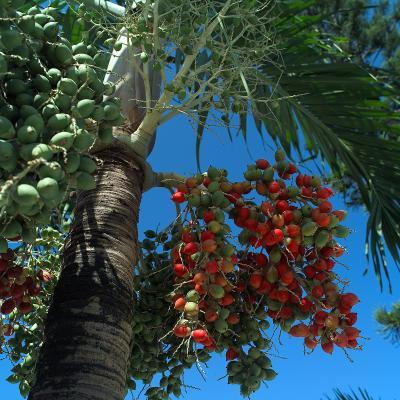 Fruta-Palmera.jpg