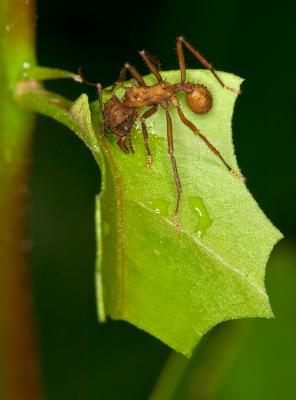 Leaf-Cutter-Ant-3.jpg