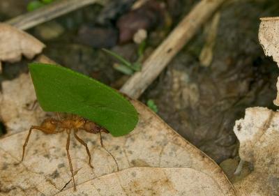 Leaf-Cutter-Ant-8.jpg