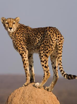 Cheetah on top of termite mount