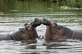 Young Hippos