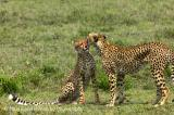 Cheeta mother cleaning her cub after a meal - Acynonyx jubatus v.jpg