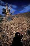 Shadowpinetree.jpg